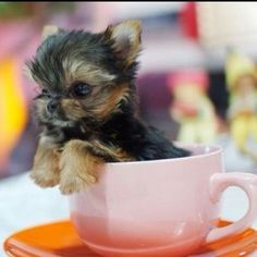 Cute tiny animal... tea cup Yorkshire