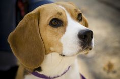 Living with Crazy Lady:  A Beagle's Perspective