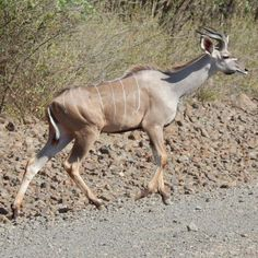 A young Greater Kudu at Lake Bogoria