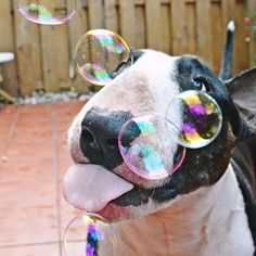 """I shall lick these bubbles to death!"""