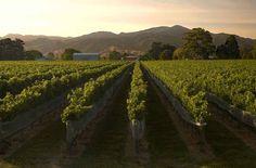2015 høsten er i hus, men er godt 30% mindre end i 2014. Det kan medføre mangel på de populære sauvignon blanc vine fra New Zeala