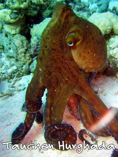 Tauchen Hurghada http://www.divingforever.com Unsere deutsche Tauchschule / Tauchbasis bietet Tauchen in Hurghada zu besten Preise,Wählen Sie von dem was Sie wollen:Tauchausflüge,Schnuppertauchen,Tauchkurs,Spezialkurs,oder einen Ausflug Zum Hurghada Grand Aquarium.