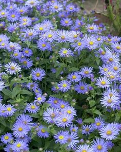 Aster - Hardy Perennial Plants - Spring Planting - Bulbs, plants and Long Lasting Flower, Herbaceous Perennials, Planting Bulbs, Plants, Garden, Garden Shrubs, Hardy Perennials, Shrubs, Perennial Plants