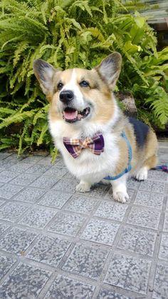 Dog plaid butterfly bow tie Dog bowtie by CorgiKuriandFriends