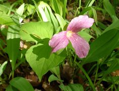 White Trillium can be found at both Indian Point Park and Hogback Ridge Park now through April 15.