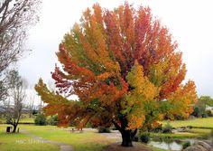 Autumn colours on Quart Pot Creek, next to the Visitor Information Centre Pick Your Own Apples, Autumn Colours, Golden Leaves, Rust Orange, Golden Oak, Sunshine Coast, The Visitors, Autumnal, Potpourri