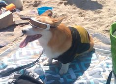 Cosplay isn't only for humans. If your pet will tolerate it, you can put him or her in store bought costumes or those you make yourself. This corgi is dressed as Geordi La Forge, chief engine… Animals For Kids, Animals And Pets, Cute Animals, Star Trek Convention, Star Trek Cosplay, La Forge, San Diego Comic Con, Held, Say Hello
