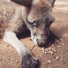 #currumbinwildlifesanctuary#kangaroo#캥거루#만사가귀찮아#먹는것도귀찮아#귀여운캥거루 by minzee_86 http://ift.tt/1X9mXhV