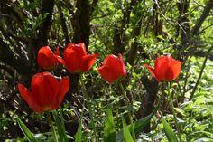 Tulppaanit jasmiinipensaan alla