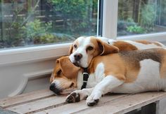 10 Things You Can Learn From a Beagle