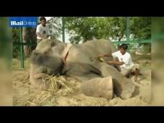"""Daring midnight rescue operation to free Raju the elephant"""""""