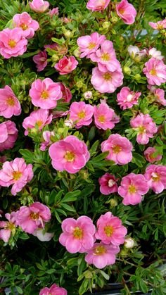 """Potentilla, Happy Face, Pink Paradise (Potentilla fruticosa 'Kupinpa') The clear pink, semi-doubled flowers hold their color longer than other pink potentillas, although they may still fade under intense heat. Excellent choice for cooler climate gardeners who want low-maintenance flowers all summer long. 24-36"""" x 24-36"""""""