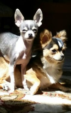 long and short hair chihuahuas Cute Chihuahua, Chihuahua Puppies, Cute Puppies, Cute Dogs, Teacup Chihuahua, Yorkies, Chihuahuas, Big Dog Little Dog, Baby Animals
