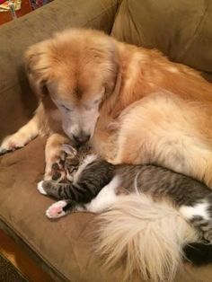 Pete the cat helps Golden Retriever Lucy with her separation anxiety Raining Cats And Dogs, Cute Cats And Dogs, Animals And Pets, Baby Animals, Funny Animals, Cute Animals, Dog Separation Anxiety, Dog Anxiety, Cute Puppies