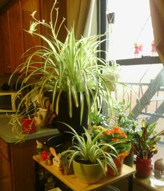 My *Sunny* kitchen window garden is a constant work in progress. As you can see in this photo, my SpiderMom at this time has, formed and still forming, 26 babies. The spider plant in front is one of her first babies. SO now I'm having to find different areas to spread my plants to make room for the spider babies..... and so I am creating a *spider plant* garden. :)