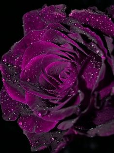 Beautiful rose with delicate water droplets Beautiful Flowers Wallpapers, Beautiful Rose Flowers, Pretty Roses, Love Rose, Exotic Flowers, Amazing Flowers, Pretty Flowers, Purple Flowers, Beautiful Gardens