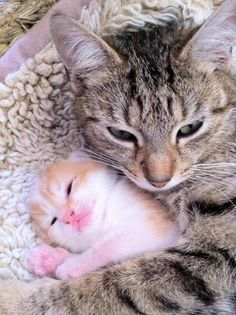 Adorable tiny kitten getting mama hugs. <3