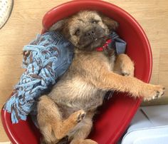 Hector the Border Terrier Pup Border Terrier Puppy, Terrier Dogs, Happy Puppy, Happy Dogs, Adorable Puppies, Cute Dogs, Doggies, Dogs And Puppies, Patterdale Terrier