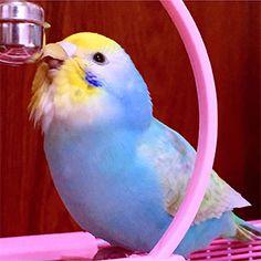 "Budgerigars your Hagiyama master bird photo contest vol.032 theme ""dreamy"" result announcement"