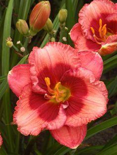 Daylily 'Baby Red Eyes' Hemerocallis