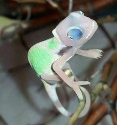 High white super translucent veiled chameleonPhoto credit: Trevor Neufeld