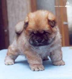 Omg this is so my dream dog. A baby chow chow! Can't wait for it to grow into a daddy chow chow! <3