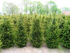 Good quality evergreen bare root and rootball hedging from crown Topiary, Herford