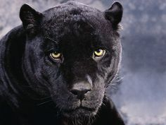 animals a dark mood black panther download black panther wallpaper