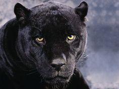 animals a dark mood black panther download black panther wallpaper