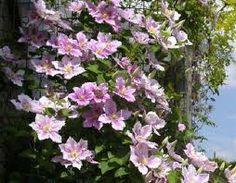 CLEMATIS 'HAGLEY HYBRID' isokukkainen kärhö  Vaaleanpunaiset,10–18 cm leveät kukat.Kestävä ja runsaasti kukkiva jalokärhö.Myrkyllinen.Kukkii elo-syyskuussa.