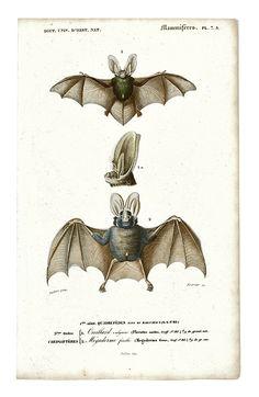 Happy Halloween!!   1849 Antique French Vampire Bat Print