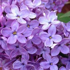 The #almond  #scented  #lilacs  such a #perfect  hue.  #inmygarden  #instaflower  #nofilter  at #theessensestudio  #boulder  #dshperfumes  #theafternoon  #artisan  #perfume  #dawnspencerhurwitz