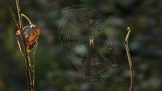 Hämähäkki kutoo joka päivä uuden verkon. Jokaisella lajilla on oma tapansa kutoa verkko.