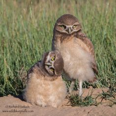 Burrowing Owl chicks. by Richard Goluch on 500px