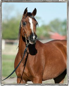 Infinite Faith (Pimlico RCA x Sweet Temptations TF by Thee Desperado), bay Egyptian Arabian mare. #theedesperado