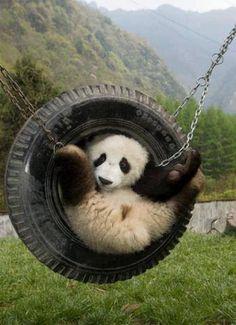 Panda in the round. Panda in the round. Animals And Pets, Baby Animals, Funny Animals, Cute Animals, Beautiful Creatures, Animals Beautiful, Photo Panda, Panda Bebe, Panda Panda