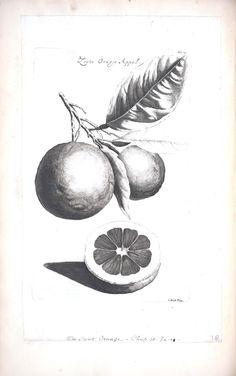 Orange Fruit Illustration by Cornelis Kick Botanical Illustration Fruit Illustration, Botanical Illustration, Tea Tattoo, Dutch Golden Age, Orange Fruit, Sgraffito, Technical Drawing, Paper Art, Monochrome