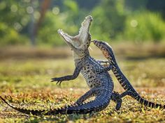 "Hendy Lie, Indonesia, Entry, Open, Nature and Wildlife, 2016 Sony World Photography Awards "" I captured this photo of a crocodile and lizard battling. The crocodile was sunbathing when the lizard suddenly attacked."""