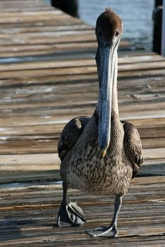 Pelican strolling along the pier ..