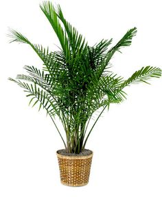 palm plant landscaping around pool and palms on pinterest. Black Bedroom Furniture Sets. Home Design Ideas