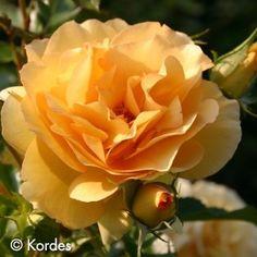 Eureka™ Rose   Newflora – Exclusive agent for Kordes Roses