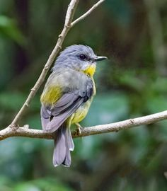 Eastern Yellow Robin (Eopsaltria australis) - the Grotto Nature Reserve, Nowra, NSW All Birds, Little Birds, Love Birds, Curious Creatures, Cute Creatures, Parus Major, Most Beautiful Birds, Backyard Birds, Colorful Birds