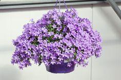 Portenschlagi kellukas (Campanula portenschlagiana) See armas kellukas on kompaktse kasvukujuga, moodustab kena padjandi ja kui kasutad veel...