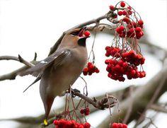 """CEDAR WAXWING - Eating Pyracantha Berries (gets 'em drunk) raspberrytart: """" Fun with Berries (by Roeselien Raimond) """""""
