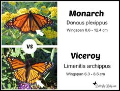 How to tell the difference between a Monarch and a Viceroy butterfly.