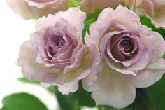 Damask Rose For More.. http://flowerhomes.blogspot.com https://facebook.com/flowerofworld