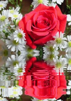gif roses - Page 19 Beautiful Red Roses, Beautiful Gif, Beautiful Flowers, Flowers Gif, Flowers Nature, My Flower, Flower Power, Gif Rose, Rosas Gif