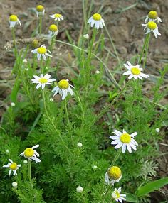 Corn Chamomile (Anthemis arvensis)   also known as Field Chamomile.  Plant Type:  can reach 70cm in height (28inches). Generally considered an annual,  Flowers: . They are white (rays), with yellow disk. Blooms first appear in mid spring and continue into late summer. Habitat: Fields, gardens and disturbed areas. Range: Native to Europe now naturalized in much of North America.