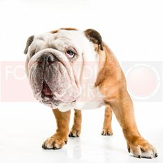"Bulldog ""Bailey"" our dog!"