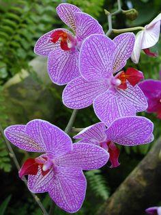 Cambridge, England: Botanic Garden: Orchid (Phalaenopsis)